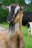 Goat on a summer pasture — Foto Stock