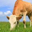The calf on a summer pasture — ストック写真