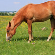 Horse on a summer pasturee — Stock Photo