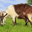 Foto de Stock  : Goat on summer pasture