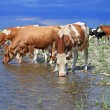 Cows on a watering place — Stock Photo #11184305