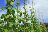 年轻茎梗的四季豆在木桩上 — 图库照片