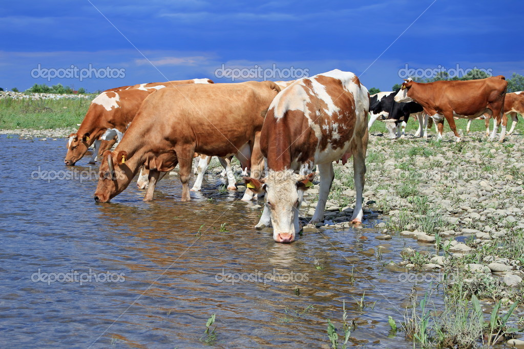 Cows on a watering place in a summer rural landscape. — Stock Photo #11184305