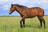 夏季牧场上的马 — 图库照片