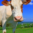 Cow on summer pasture — Stock Photo #11323586