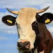Head of cow against sky — Stock Photo #11372216