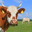Head of a cow against a pasture — Stockfoto