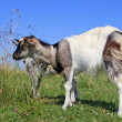 Foto Stock: Goat on summer pasture