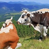 Cows on a summer mountain pasture — Stock Photo