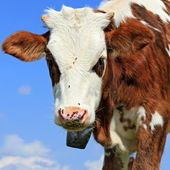Head of the calf against the sky — Stock Photo