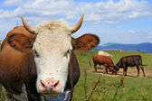 Head of a cow against mountains — Stock Photo