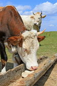 Cow on a summer mountain pasture at a feeding trough with salt — Stock Photo