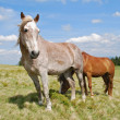 Stok fotoğraf: Horses on summer mountain pasture