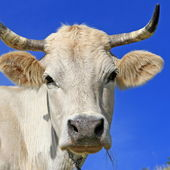 Head of a cow against the sky. — Stock Photo