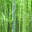 Green bamboo forest — Stock fotografie