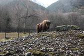 Bison standing alone — 图库照片