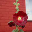 Stock Photo: Red mallow