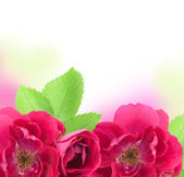 Beautiful Rose Flowers Background with copy space for text — Stock Photo