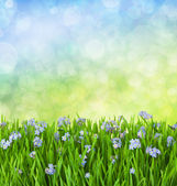 Myosotis Blue Flowers into Green Grass with Waterdrops — Stock Photo