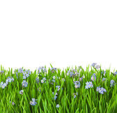 Blue flowers into green grass with water drops / isolated on wh — Stock Photo