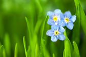 Three Forget-me-not Blue Flowers into Green Grass / Macro — Zdjęcie stockowe