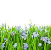 Myosotis Flowers into Green Grass / Isolated on White Background — Stock Photo