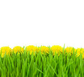 Yellow Dandelions in Green Grass on White Background / taraxacu — Stock Photo