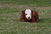 Bull calf — Stock Photo