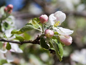 Flowering apple tree. — Stock Photo