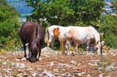 Horses grazing in countryside. — Stock Photo