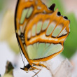 Clear wing butterfly or Greta oto — Stock Photo