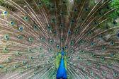Preening peacock — Stock Photo