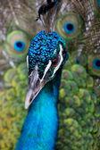 Cerrar pf ángeles del pavo real — Foto de Stock