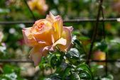 Güzel pembe gül bahçesinde güneşli — Stok fotoğraf