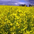 Royalty-Free Stock Photo: Yellow field of rape in spring