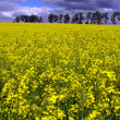 Yellow field of rape in spring — Stock Photo