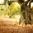 Old olive tree — Stock Photo #12019347