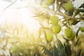 Velha oliveira — Foto Stock