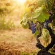 Foto Stock: Vineyard in autumn harvest