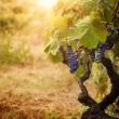Vineyard in autumn harvest — Stock Photo