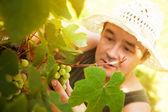 Colheita de uvas — Foto Stock