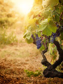 Vineyard in autumn harvest — Stock fotografie