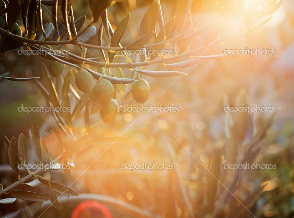 Summer olives design background with fresh olive branch and lens flare — Stock Photo #12281791