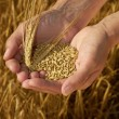 Stock Photo: Hands holding grain