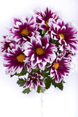 Pink chrysanthemums closeup — Stock Photo