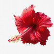 Isolated Hibiscus flower — Stock Photo