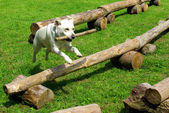 Dog jumping with a branch — Stock Photo