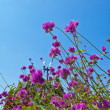 Pink Flowers and Blue Sky - Stock Photo