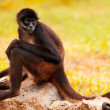 Spider Monkey — Stock Photo #12319032