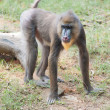 A climbing mandrill — Stock Photo